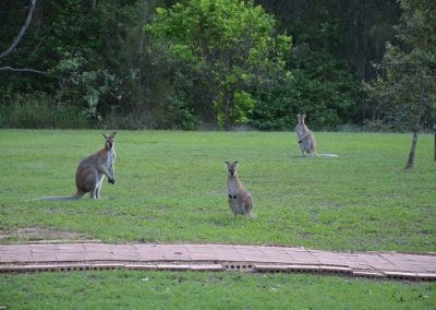 Kangaroos near our Accommodation in Hunter Valley NSW